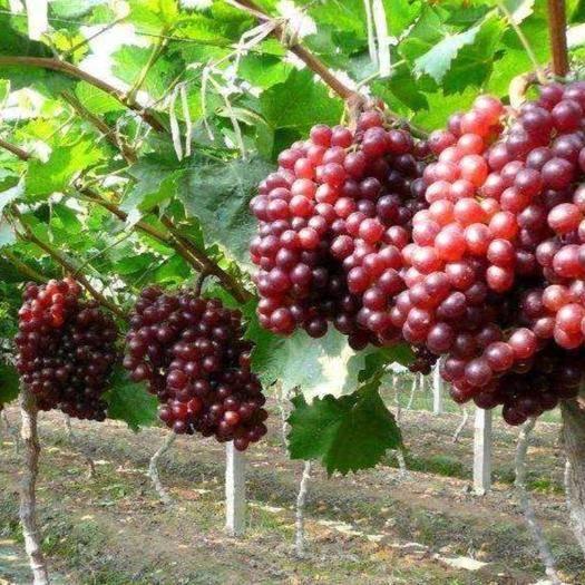 蓬莱市 红宝石葡萄