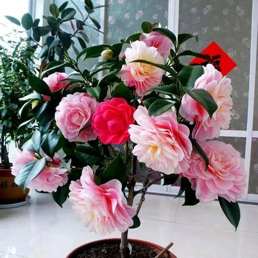 高州市 10色赤焰茶花苗,花開10種顏色 花色嬌艷,當年開花,,包郵