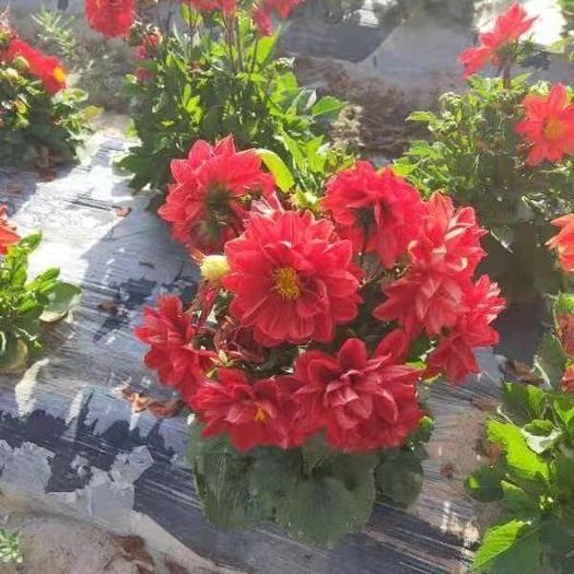 酒泉肃州区小丽花种子 矮杆盆地多用小丽花