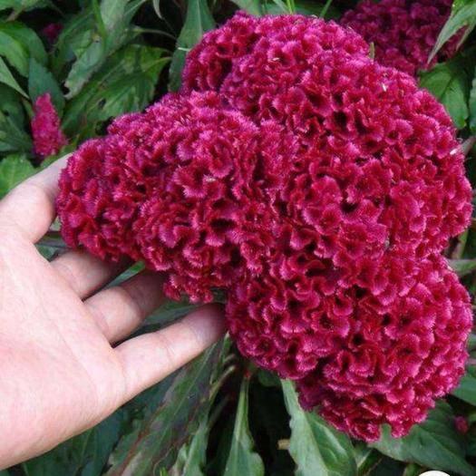 宿迁宿豫区 鸡冠花种子红鸡冠一年草本植物