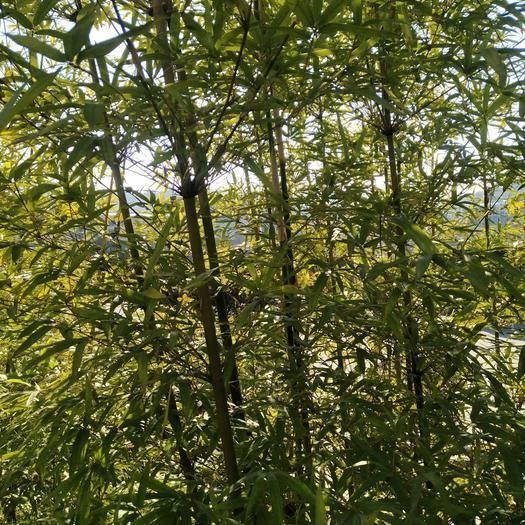 嘉禾县金竹 麻竹,楠竹,毛竹,欢迎来地考查,量大从优。