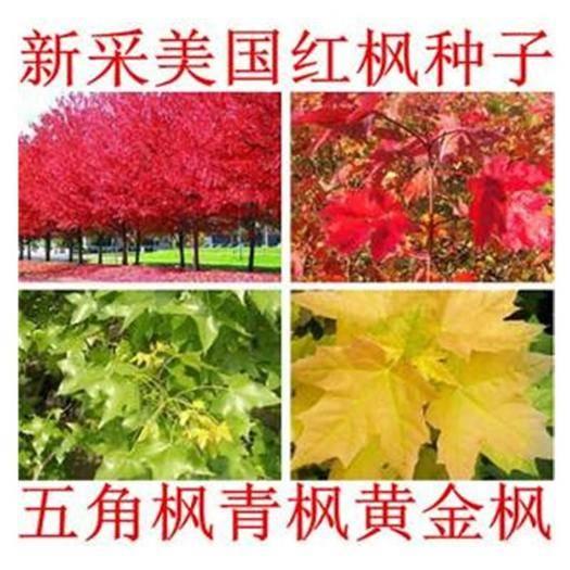 成都锦江区 五角枫种子美国红枫种子新采枫树种子包邮