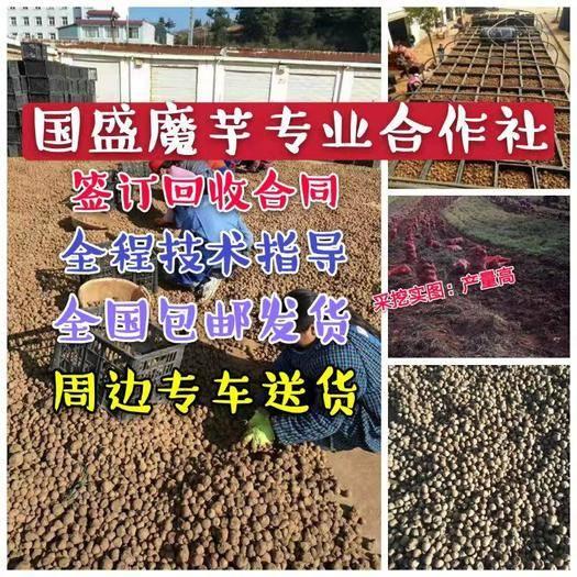 曲靖富源縣花魔芋 云南種子,技術全程跟蹤指導,簽合同保底回收。