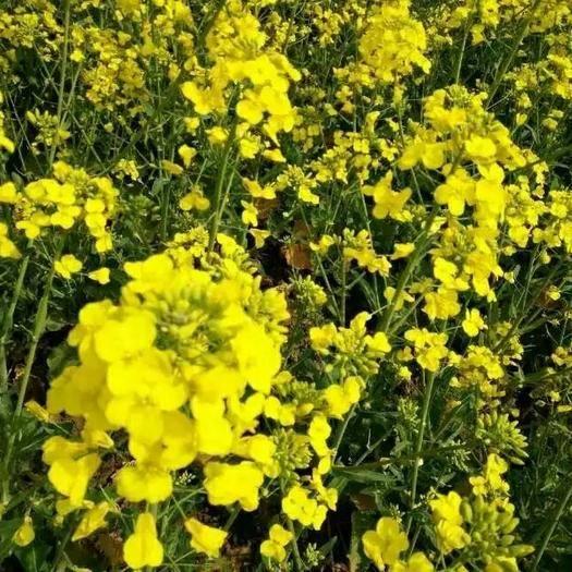 咸陽彬州市油菜籽 【萬畝油菜】純天然,原生態 產地直發 量大從優