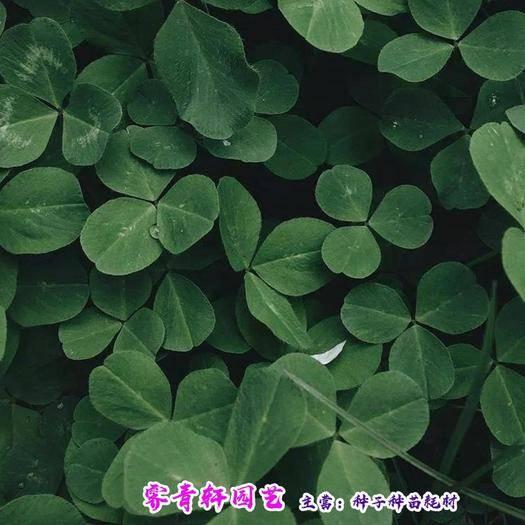 郑州二七区三叶草种子 红三叶种子白三叶种子新种子包邮