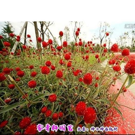郑州二七区 千日红种子千日紫种子千日红种子新种子包邮