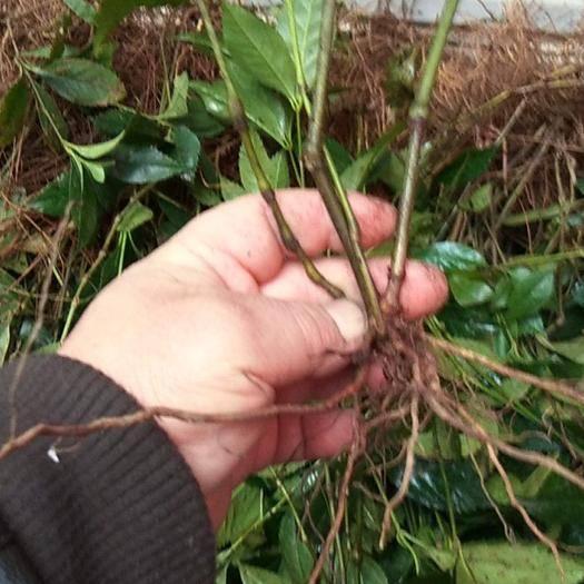 墊江 大量出售優質草珊瑚苗子,易成*,產量高,