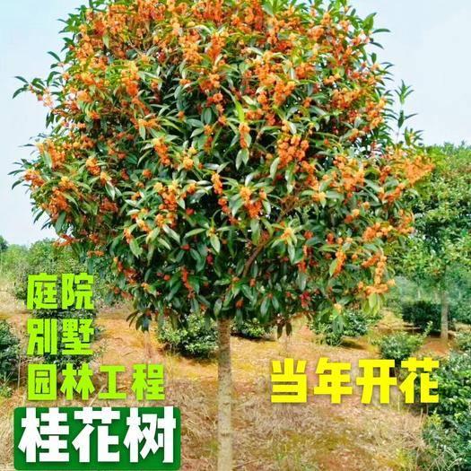 咸寧 紅桂 血桂 庭院綠化桂花樹