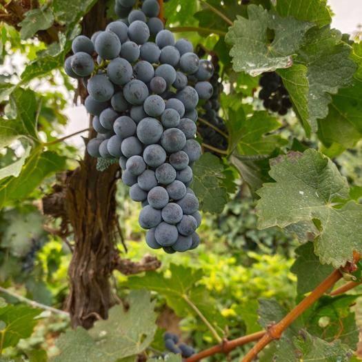 怀来县 专业酿酒葡萄品种赤霞珠