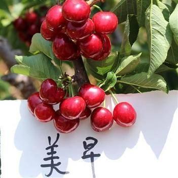 美早樱桃苗,车厘子樱桃树苗嫁接樱桃树苗,南北方种植,基地发