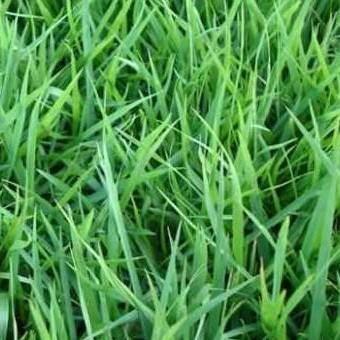 郑州二七区结缕草种子 进口草坪种子日本结缕草草坪种子包邮