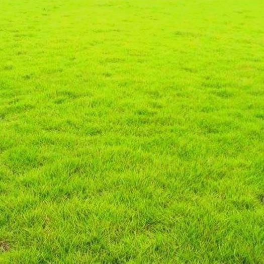宿迁宿豫区 护坡狗牙根草籽草坪种子耐践踏 净子狗牙根种子耐