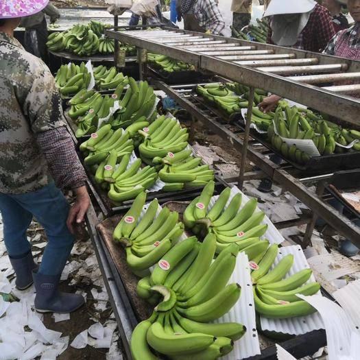大新县 广西香蕉  基地蕉便宜不受寒喜欢的老板抓紧时间