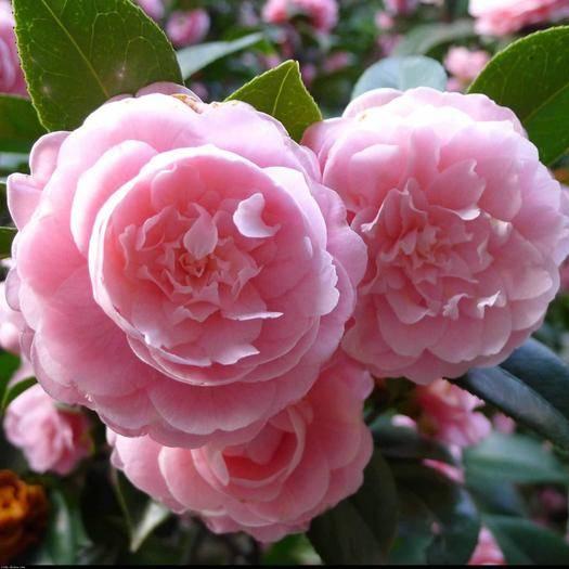 临沂平邑县 精品茶花苗 盆栽植物 四季开花 室内外庭院阳台带花苞