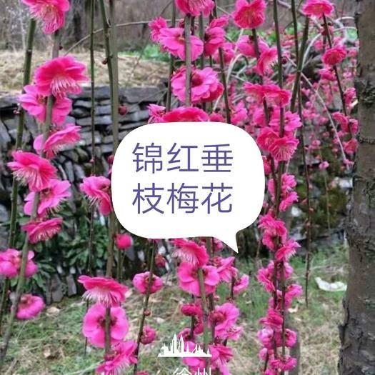 徐州新沂市 錦紅垂枝梅花種苗搶購中 先到先得