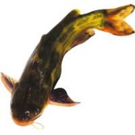 成都双流区花骨鱼 人工养殖 0.1公斤