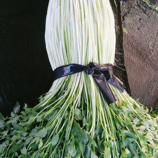 湛江雷州市 现摘现发的新鲜水芹菜,水芹菜己上市了,需要的联系哦