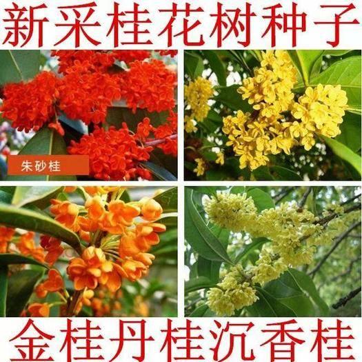 沭阳县 新采桂花籽 桂花树种子 金桂 丹桂 沉香桂 四季桂花种子