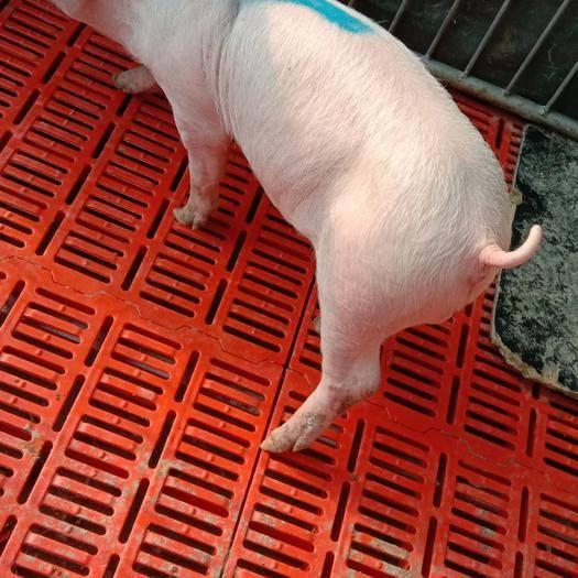 青岛即墨区 纯种长白公猪,大白公猪,约克公猪,体型优美,基因优良!