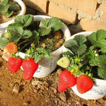 美十三草莓苗 24小时发货,现挖现发,泡沫箱(加冰保鲜)品种齐全