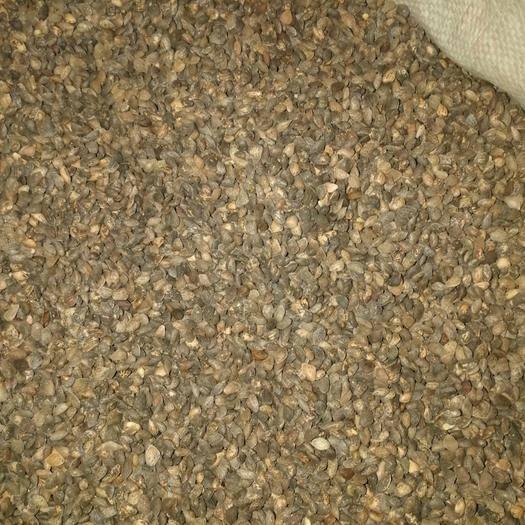 吉安泰和县 五百斤优质湿地松种子出售