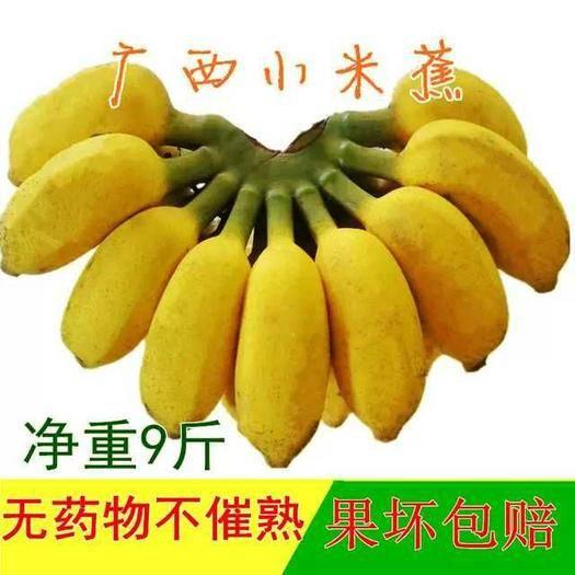 南寧西鄉塘區小米蕉 【正常發貨】廣西雞蕉包郵9斤 果園直銷 一件代發