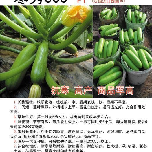 寿光市 抗寒抗病毒西葫芦种子 油亮型翠绿高产角瓜籽包邮