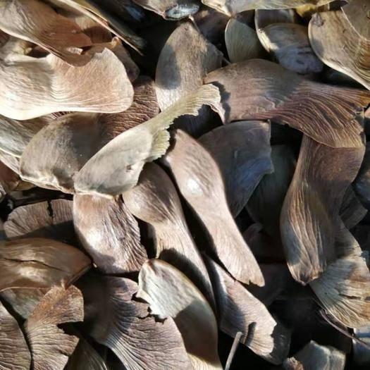 铁岭开原市 现种 五角枫种子 颗粒饱满 实体种业 支持全国办理货运