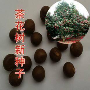 宿迁沭阳县 包邮茶树种子大果油茶种子茶叶种子红花油茶种子茶花树种子
