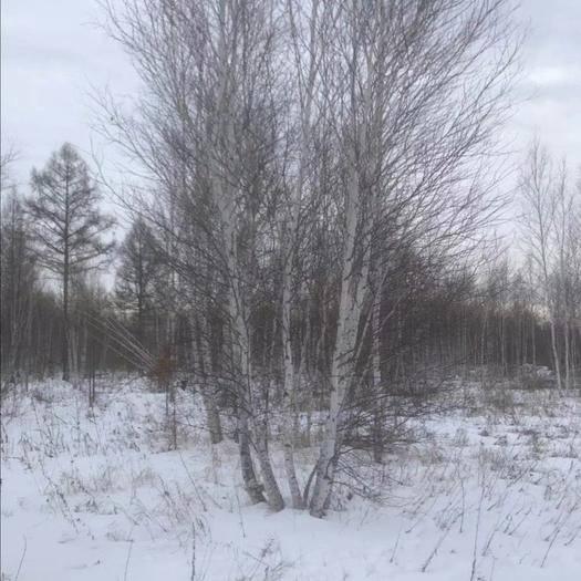 大兴安岭加格达奇区白桦树苗 白桦树丛生的,一手货源