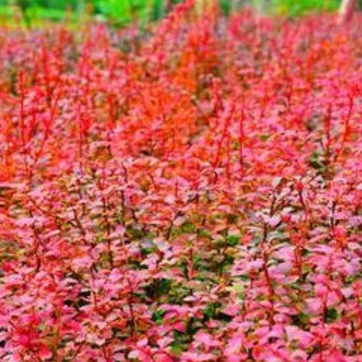 宿遷 紅葉小檗苗紅葉小波盆栽苗南北方種植苗木紫葉小檗