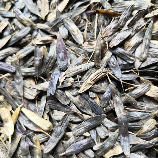 安阳林州市 优质新板兰根种子出售