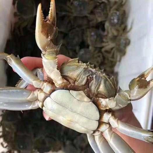 洪湖市洪湖大闸蟹 优良水质 无污染 湖区塘区养殖