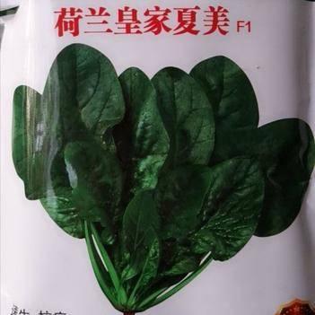 荷兰皇家夏美菠菜种子 耐热 抗寒 速生 抗病高产
