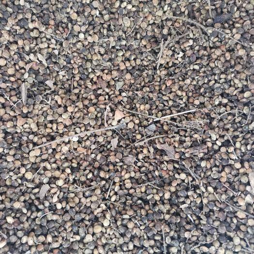 洛阳嵩县红瑞木种子 盐肤木种子