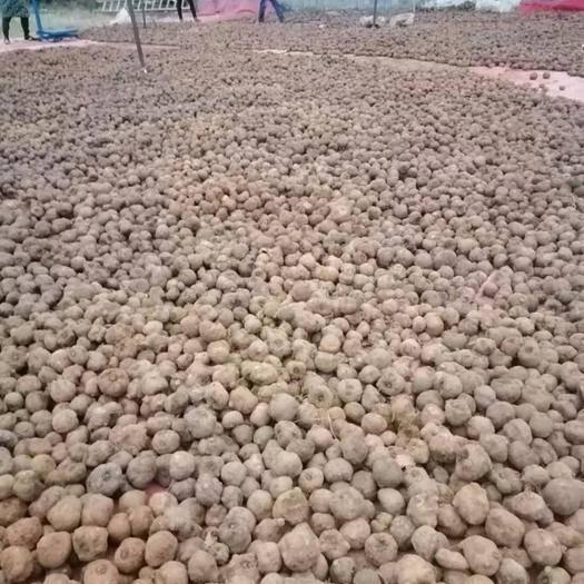 毕节药用魔芋 贵州毕节七星关区魔芋种子