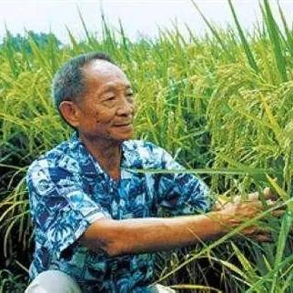 黄冈黄梅县龙洋16水稻种子 巨人稻