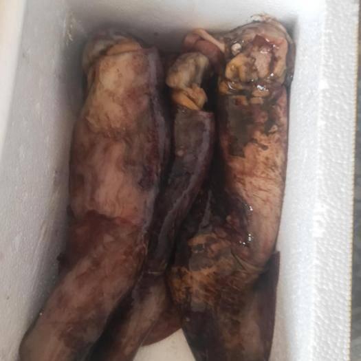 日照东港区 包邮需清理大鱿鱼10斤净重9斤起整只约0.6-2斤鱿鱼冷冻