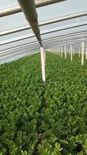 济宁金乡县西芹 60cm以上 0.5~1.0斤 大棚种植