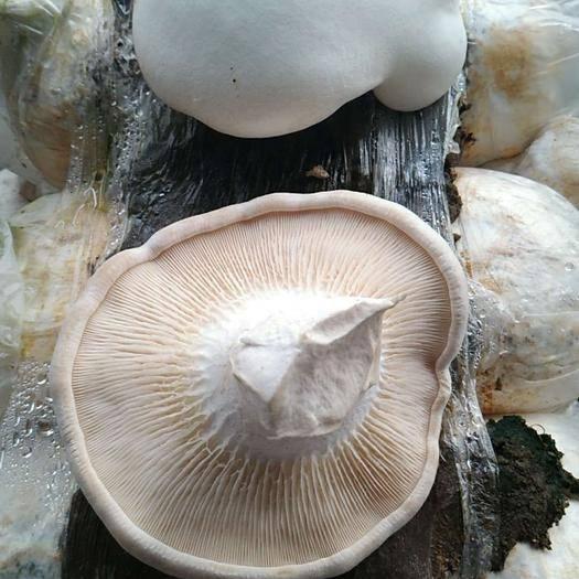 唐山遵化市 出售白灵菇