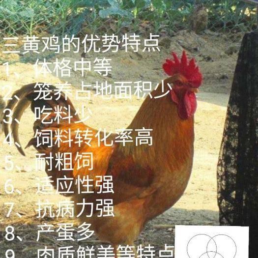 南宁西乡塘区三黄鸡苗 (热卖热销名鸡) 三黄鸡   24小时疫苗全国发货孵化场直销