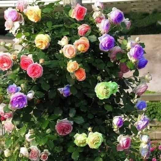 平邑县藤本月季 四季蔷薇花 多色可选 花色齐全   开花爆满 现挖发贷