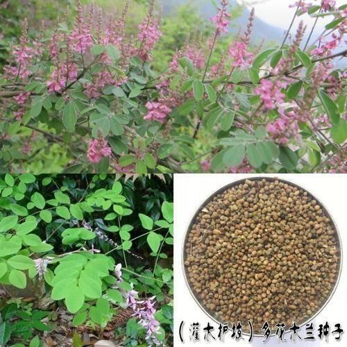 郑州 多花木兰种子各种灌木种子包邮