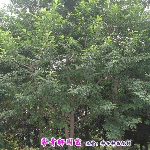 郑州含笑花种子 含笑种子乐昌含笑种子红花含笑种子包邮