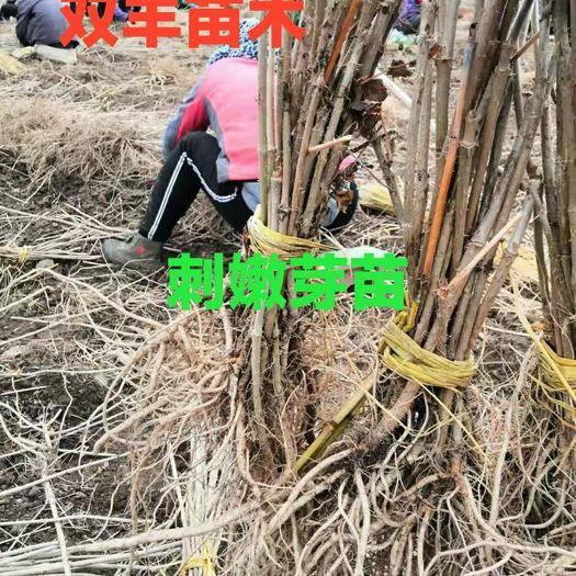 白山浑江区刺老芽苗 双丰苗木秋季大量出售浆果苗木: