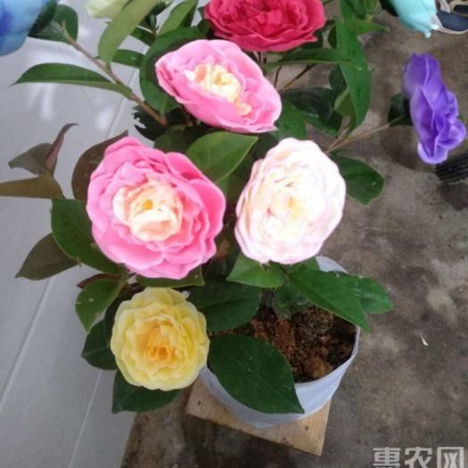 茂名高州市茶花苗 进口五色赤丹,带花苞发货 四季开花,观赏价值高,包邮