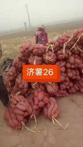 德州夏津县 基地大量供应地窖储存红薯,蜜薯,济薯26,西瓜红,龙薯九红