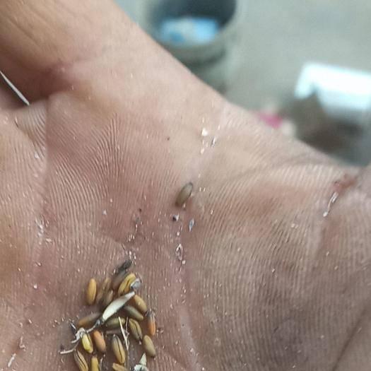 安阳龙安区板兰根种子