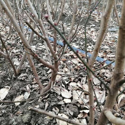 徐州新沂市 大量供應帶蕾扦插梅花骨里紅2年苗