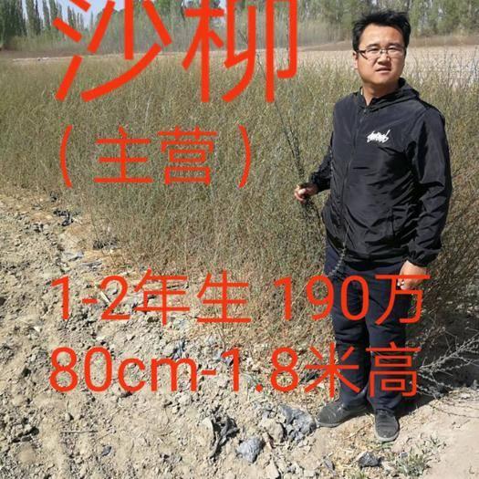 酒泉肅州區 青海甘肅寧夏新疆河北河南內蒙古沙柳、烏柳、毛柳出售